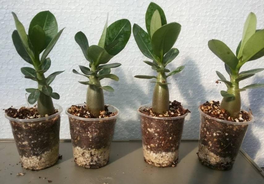 Адениум – экзотическая пустынная роза, выращенная дома
