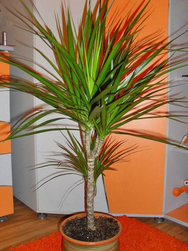 Цветок иксора уход в домашних условиях размножение и выращивание из семян фото видов