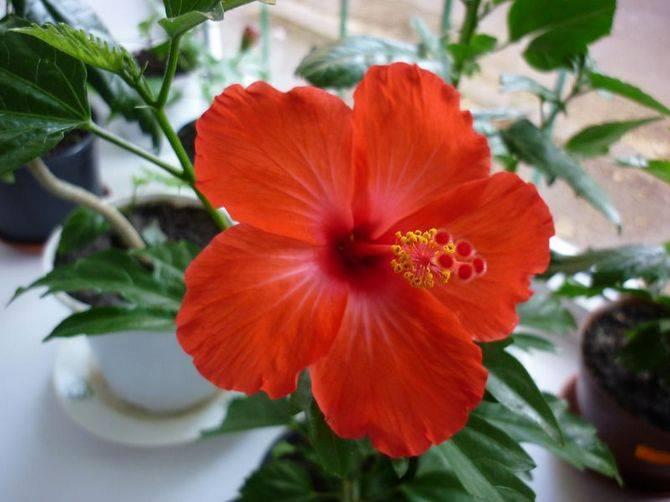Чем лучше всего удобрять китайскую розу гибискус