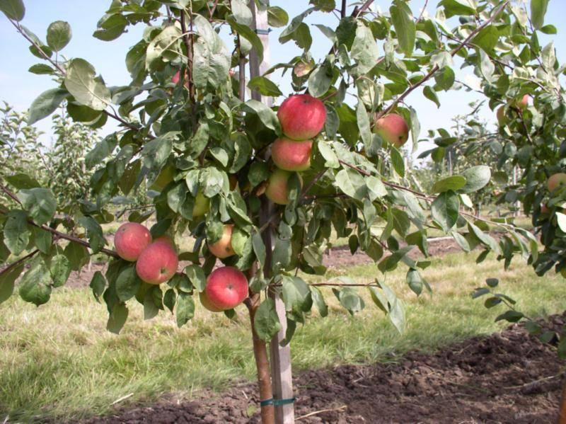 У яблони листья краснеют и скручиваются — что делать?