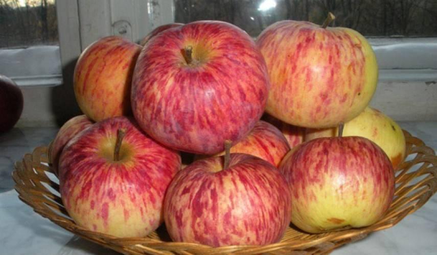 Ранний сорт, любимый дачниками — яблони грушовка ранняя