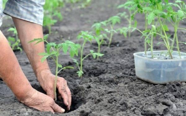 Помидоры: выращивание из семян на огороде