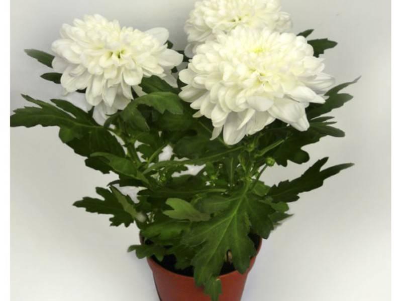Уход за хризантемой в домашних условиях