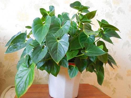 Реанимируем гибнущее растение антуриум