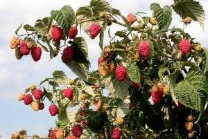 5 главных правил ухода за малиной весной