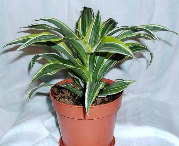 Драцена: фото с описанием, виды цветка, особенности ухода, секреты выращивания и рекомендации цветоводов