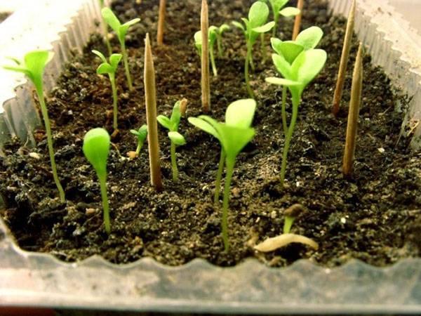 Посадка астр и уход за ними в открытом грунте – агротехника и нужные советы