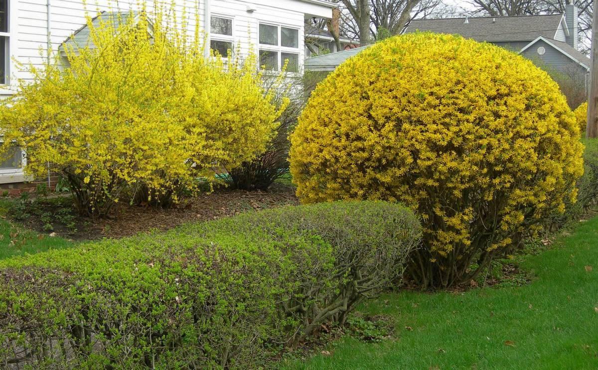 Желтый кустарник форзиция – яркое украшение сада