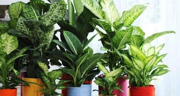 Уход в домашних условиях за диффенбахией пятнистой, плюсы и минусы этого растения