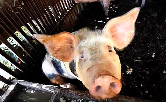 Как кормить свиней в период супоросности?