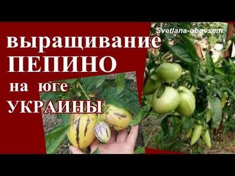Пепино: особенности выращивания и размножения