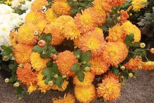 Выращиваем желтую хризантему на клумбах дачи
