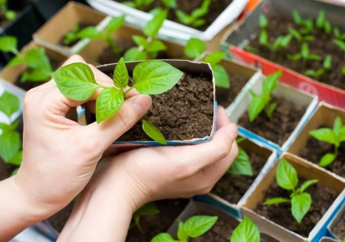Правильная посадка перца на рассаду: когда садить, самые благоприятные дни, как сеять, как ухаживать и как пересаживать?