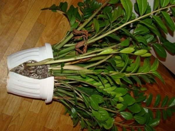 Цветок замиокулькас: уход в домашних условиях, описание, полив, пересадка, приметы