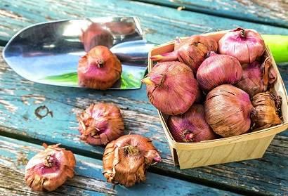 Гладиолус: топ-140 фото и видео разновидностей цветка. советы по выращиванию в саду, подготовке места, почвы и клубней. польза и декоративные свойства гладиолусов