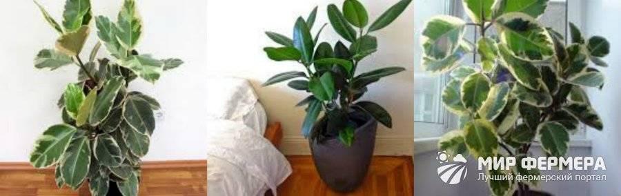 Размножение каучуконосного фикуса в домашних условиях
