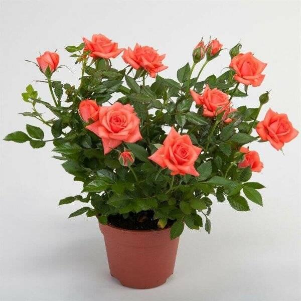 У розы сохнут листья — какие могут быть причины