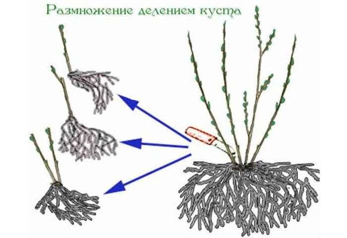 Размножение гортензии черенками летом
