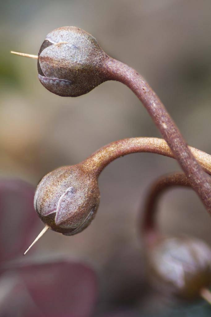 Выращиваем цикламен из семян