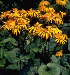 Анафалис: травянистое растение для открытого грунта