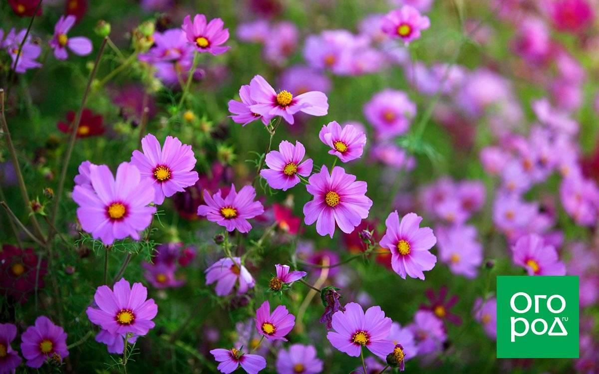 Космея цветок