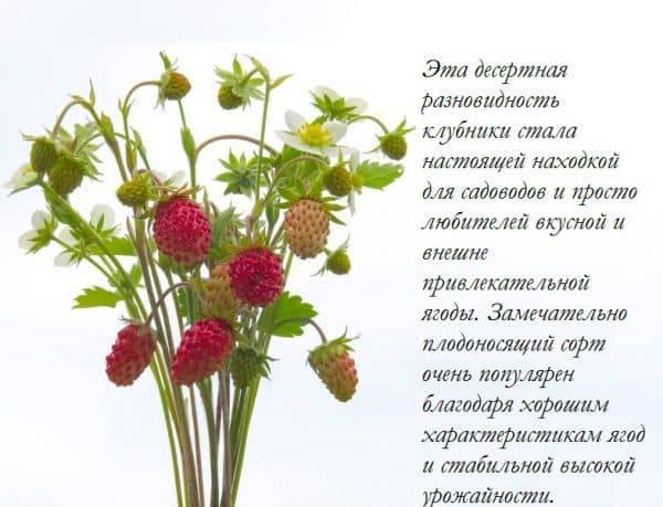 Земляника барон солемахер выращивание из семян