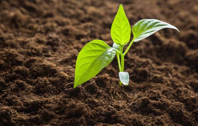 Выращивание рассады сладкого (болгарского) перца в домашних условиях
