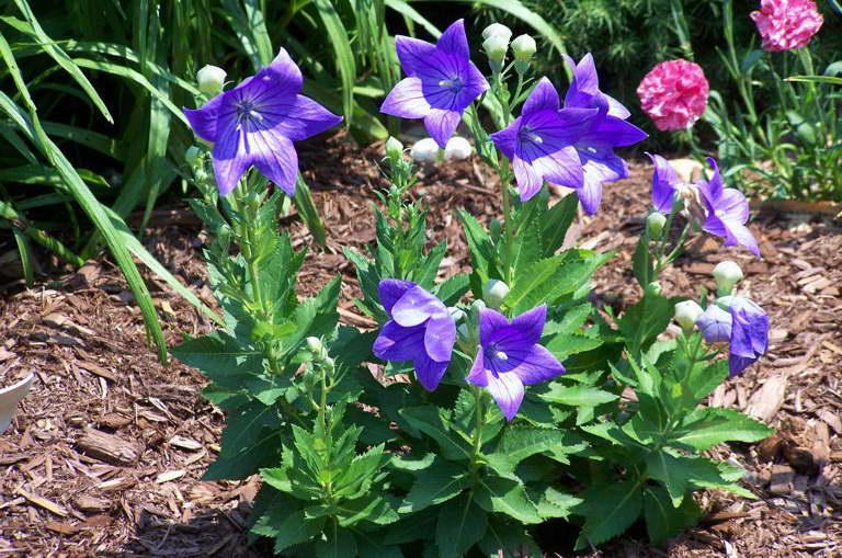 Платикодон крупноцветковый: выращивание из семян