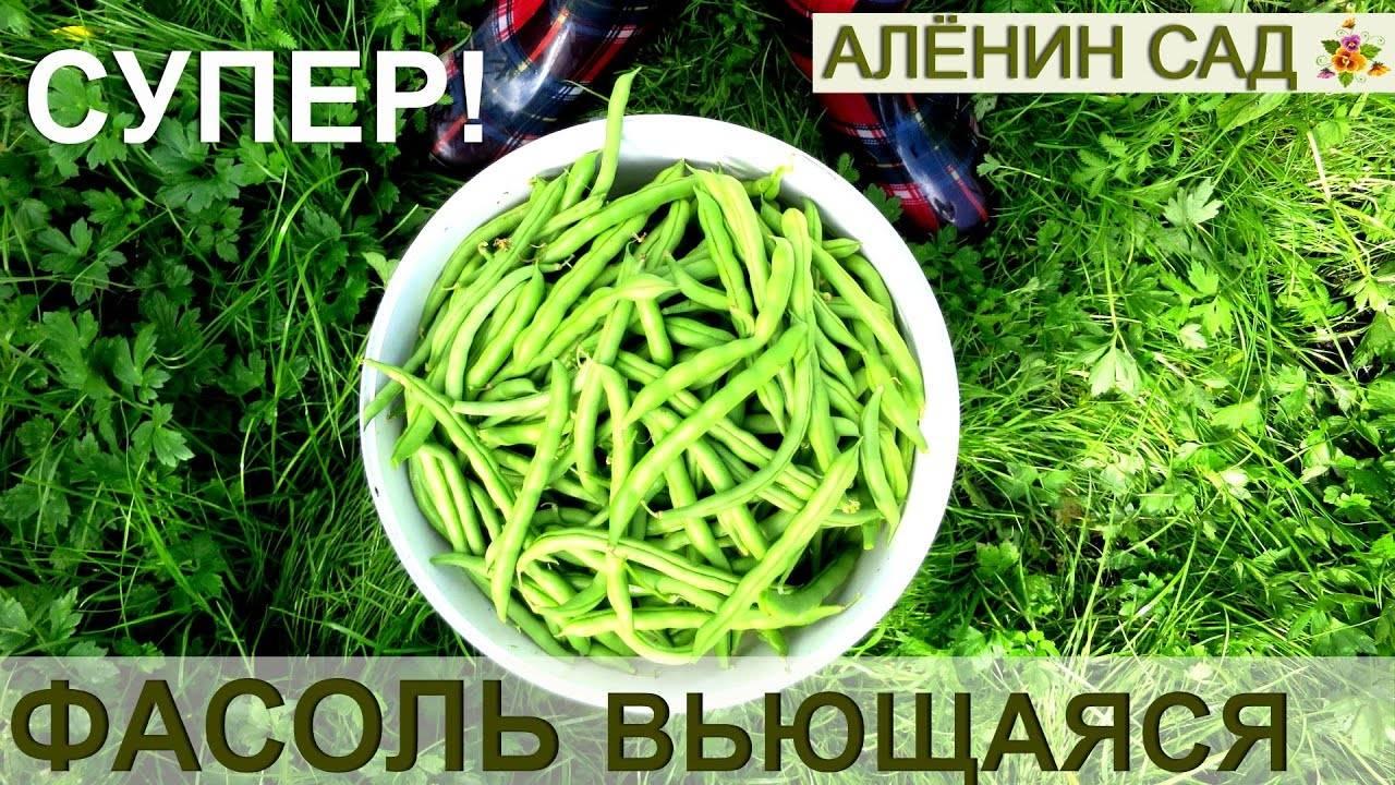 Фасоль спаржевая: посадка, выращивание и уход. 7 причин, чтобы выращивать спаржевую фасоль на участке