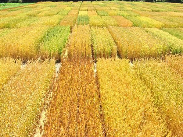 Какие бывают злаки: названия злаковых растений с фото