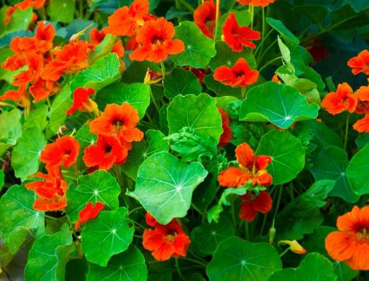 Настурция: посадка и уход, выращивание из семян