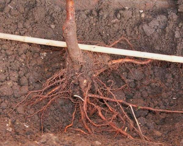 Как правильно посадить грушу