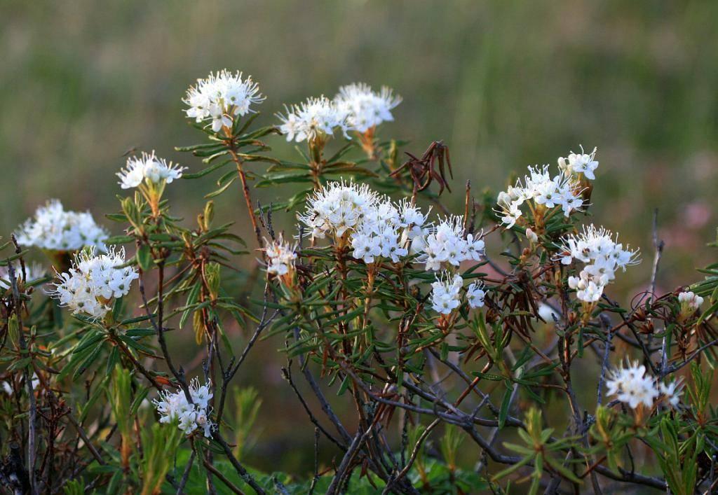 Растение стахис - что это, посадка и уход, лечебные свойства