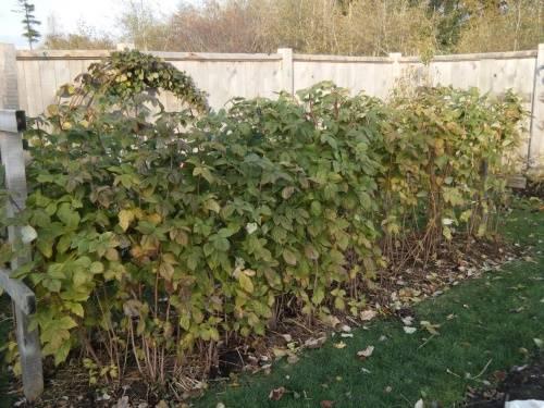 Как ухаживать за спиреей после цветения и осенью, чтобы правильно подготовить к зиме