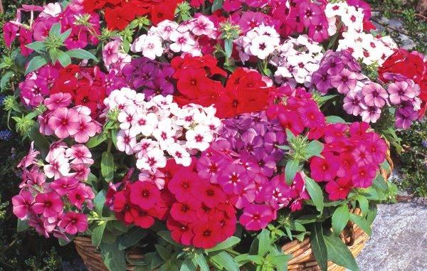 Флоксы: описание выращивания из семян