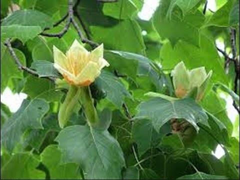 Тюльпанное (тюльпановое) дерево лириодендрон магнолия