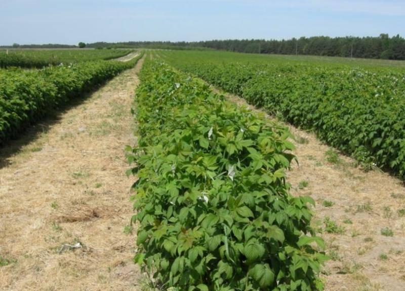 Выращивание малины как бизнес рентабельность, бизнес план на малине, продажа малины
