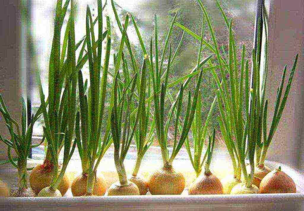 Как сделать гидропонику для выращивания лука на перо?
