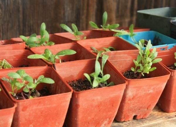 Алиссум (бурачок): выращивание из семян, посадка в открытый грунт и дальнейший уход