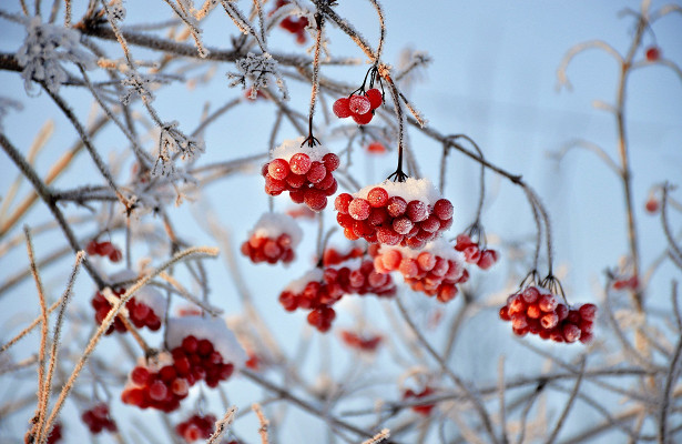 Ирга: польза и вред для здоровья — рецепты из ирги на зиму