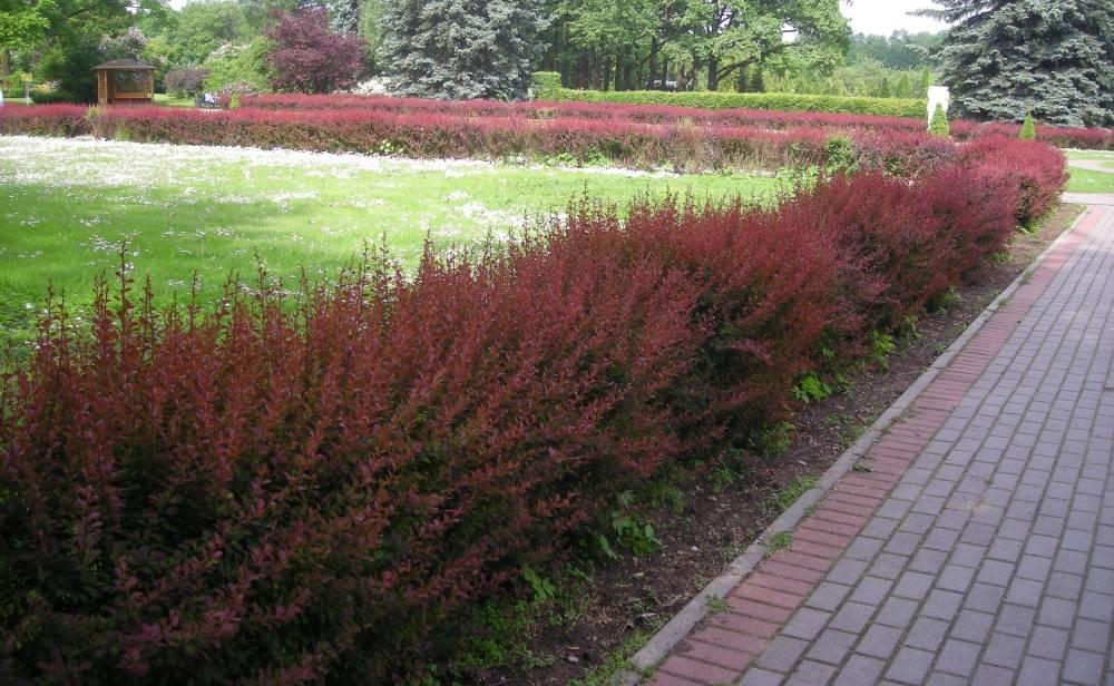8 лучших растений для пейзажных изгородей