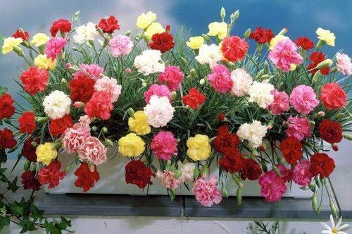 Какие цветы сеять в январе на рассаду. 22 вариантов цветов, которые сажают в январе на рассаду.