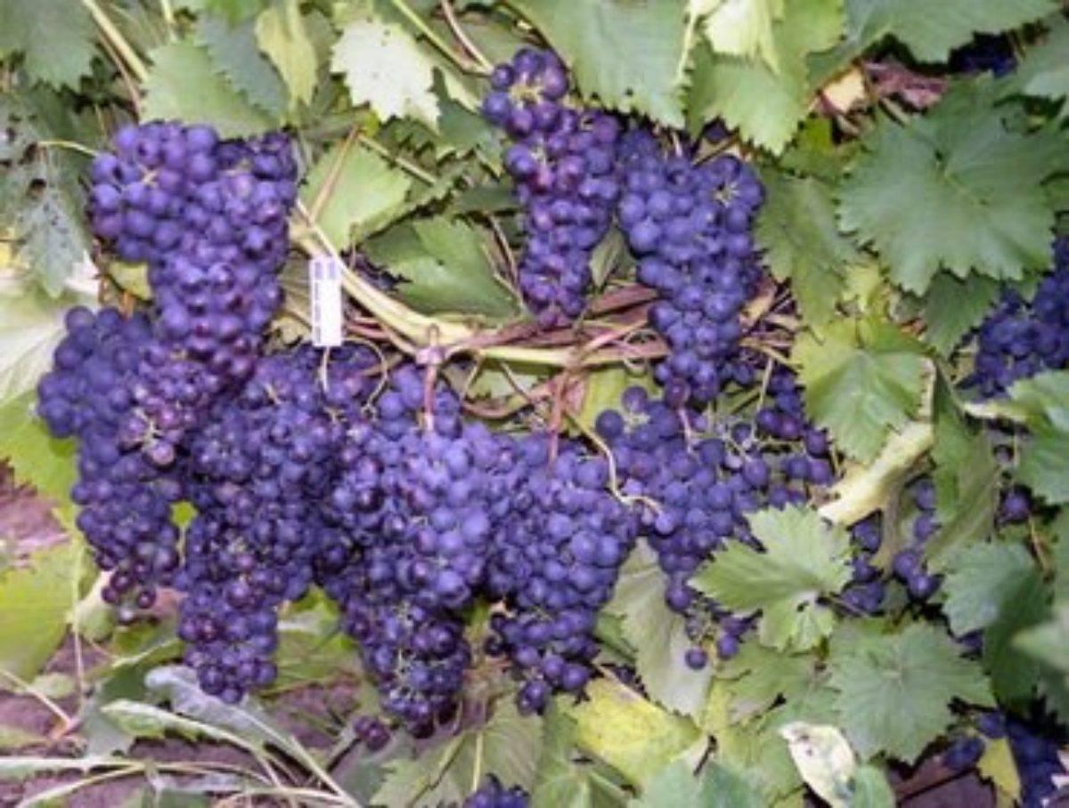 Хороший уход за виноградной лозой — гарантия богатого урожая