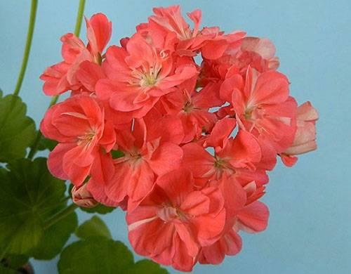 Герань «розанна»: описание, посадка и уход