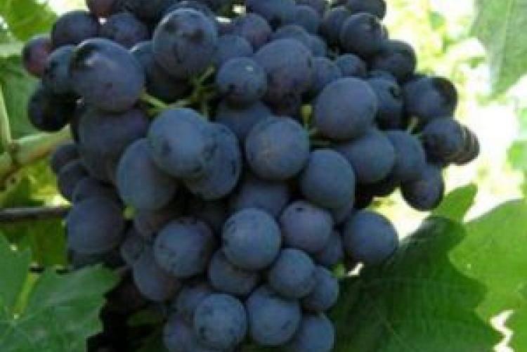 Выбор сортов винограда для выращивания в краснодарском крае