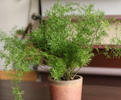Спаржа: выращивание рассады из семян, посадка в открытый грунт и уход