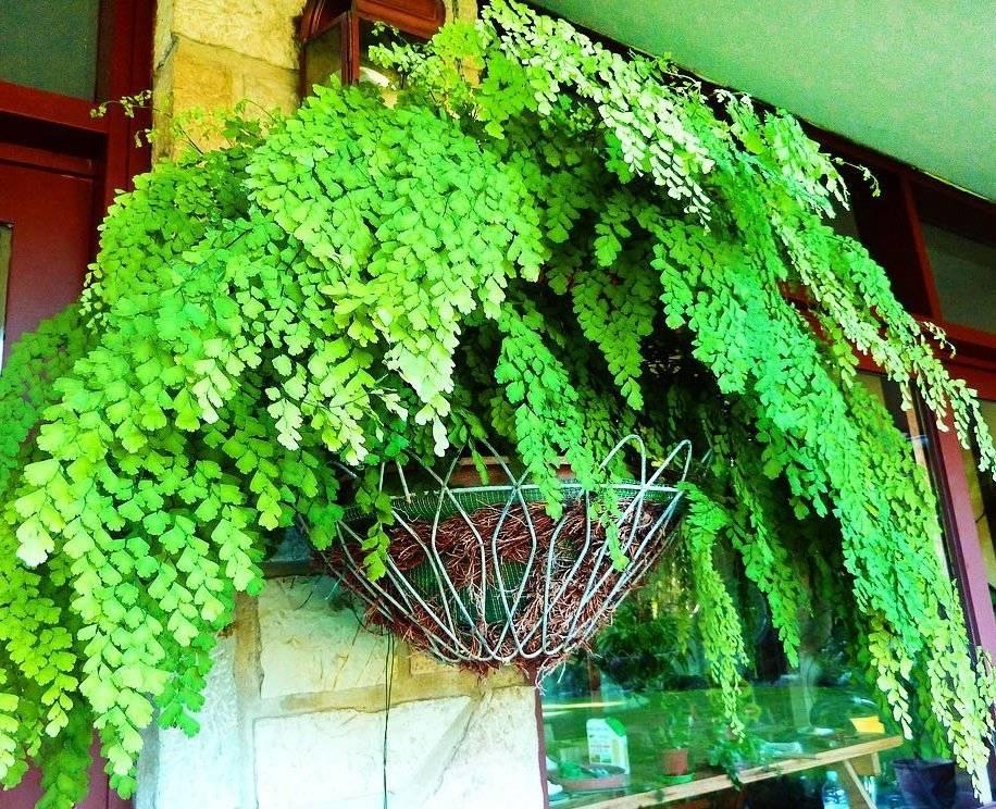 Какими бывают болезни листьев антуриума и как их лечить?
