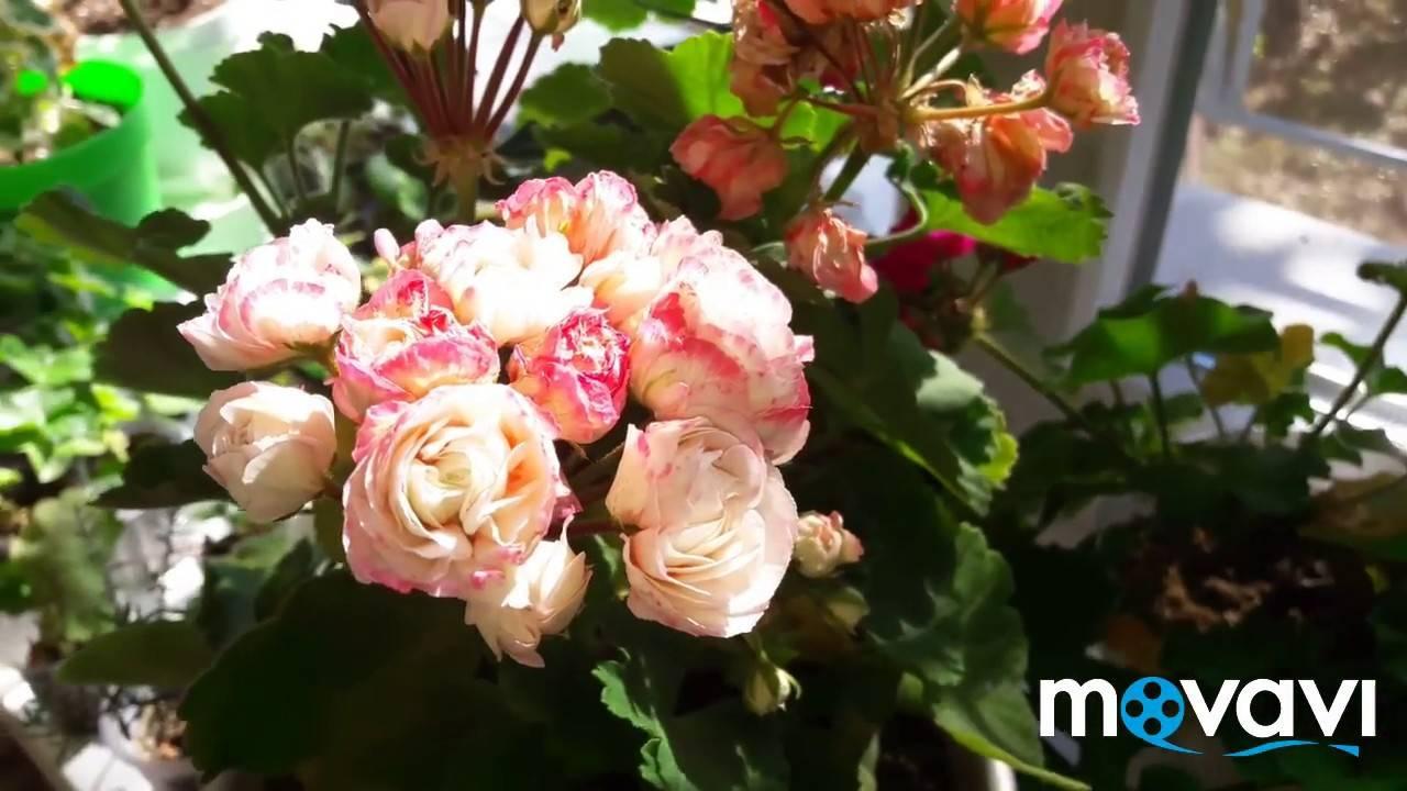 Розебудные пеларгонии — самые пеларгониевые пеларгонии…..