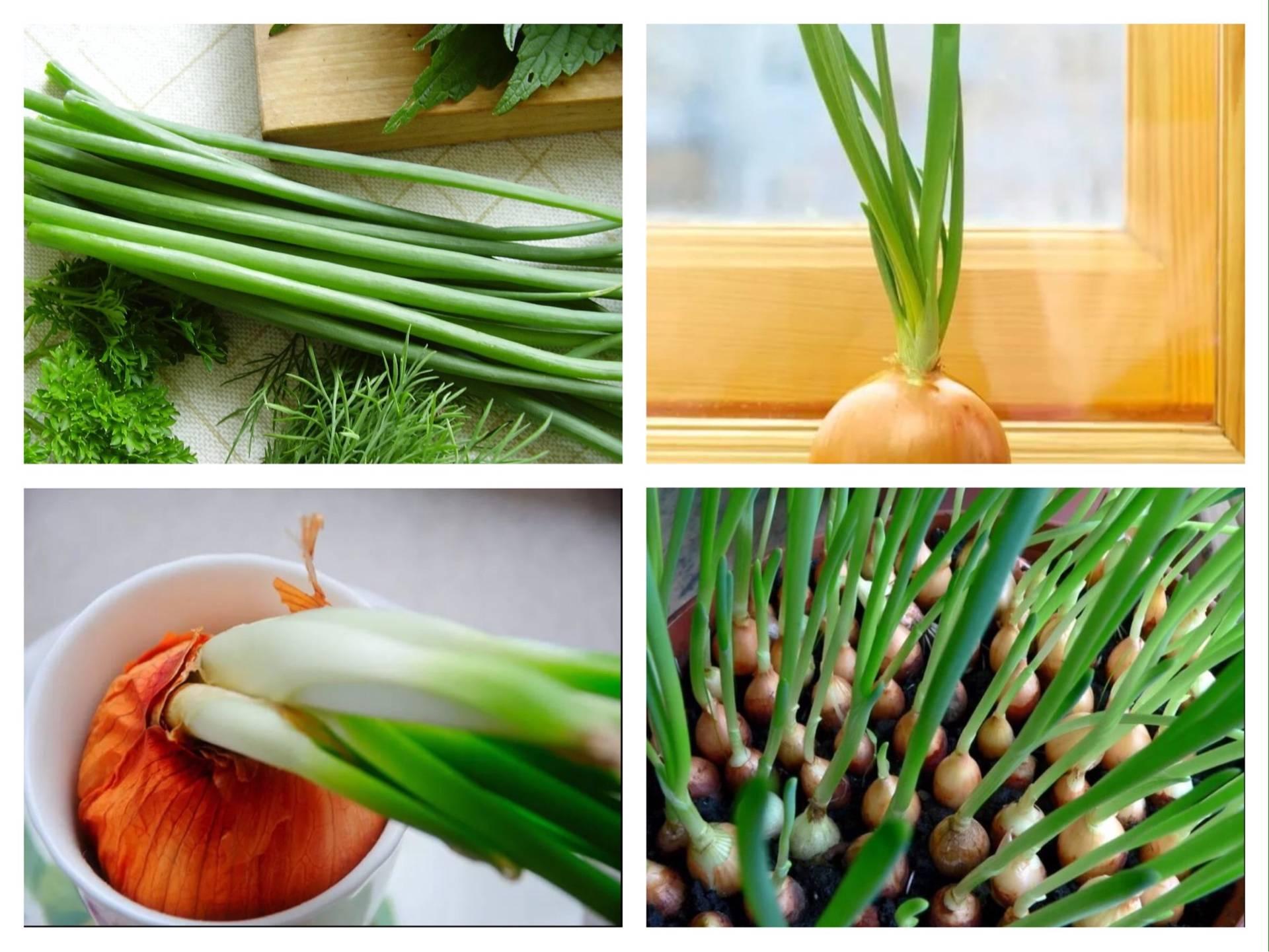 Как вырастить зеленый лук на подоконнике: полное практическое руководство