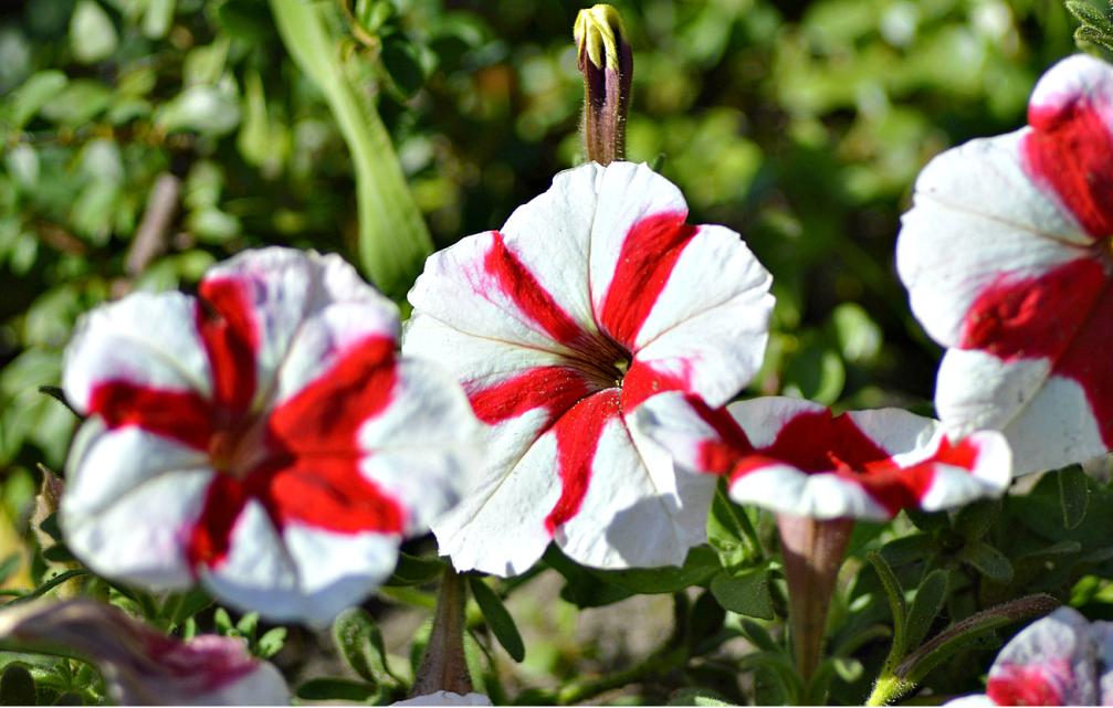 Как собирать семена с цветка петунии: сроки и методика сбора